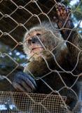 笼中的猴子 库存图片