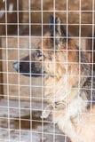 笼子的德国牧羊犬在冬天 免版税图库摄影