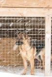 笼子的德国牧羊犬在冬天 库存照片
