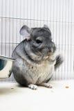 笼子黄鼠他的 免版税库存图片