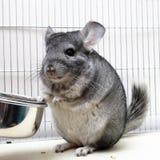 笼子黄鼠他的 免版税库存照片