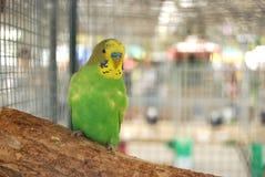 笼子绿色长尾小鹦鹉 库存照片