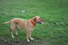 等候命令的拉布拉多猎犬 库存图片