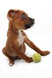 等候指示的嬉戏的拳击手小狗 免版税图库摄影