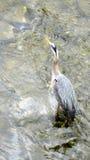 等在Shallows的一只蓝色苍鹭鱼 库存图片