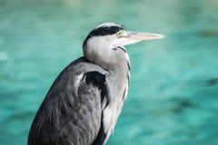 等待一条鱼的苍鹭在湖 免版税库存图片