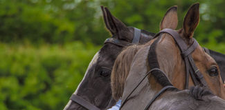 等待两个的马球马使用 免版税图库摄影