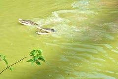 等待两条的鳄鱼是联邦机关在这个动物农场在古晋,沙捞越 免版税图库摄影