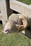 等待他的与微笑的面孔的一只公绵羊午餐时间在一个农场在一好天儿 库存图片