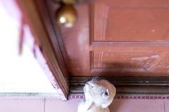等待和坐在与脾气坏的面孔的门前面的一只逗人喜爱的矮小的公猫 图库摄影