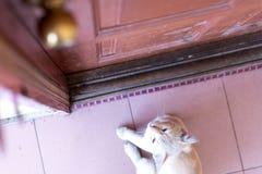 等待和坐在与脾气坏的面孔的门前面的一只逗人喜爱的矮小的公猫 库存图片