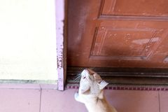 等待和坐在与脾气坏的面孔的门前面的一只逗人喜爱的矮小的公猫 免版税库存图片