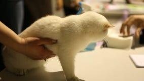 等待在兽医诊所的招待会的逗人喜爱的苏格兰短发小猫 影视素材