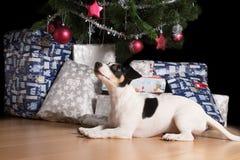 等待在圣诞树下的杰克罗素小狗 免版税库存图片