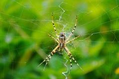 等待在她的网的蜘蛛 免版税库存照片