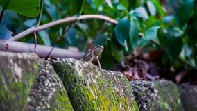 等待在岩石上的一只野生蜥蜴,寻找它` s牺牲者 库存图片