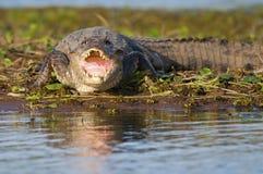 等待在河边缘它的牺牲者的凯门鳄 库存照片