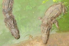 等待在沼泽的两条鳄鱼食物 免版税库存照片