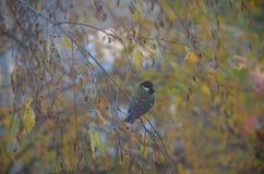 等待在美丽的秋天树的小的北美山雀食物 免版税库存照片