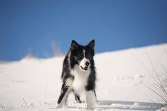 等待在雪的博德牧羊犬一个命令 免版税库存照片