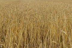 等待在领域的麦子钉庄稼 库存照片