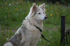 等待在绿草草坪的白色毛皮狗所有者 库存照片
