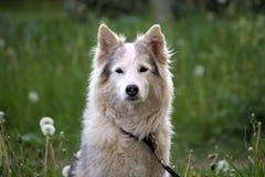 等待在绿草草坪的白色毛皮狗所有者 图库摄影