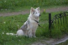 等待在绿草草坪的白色毛皮狗所有者 免版税库存照片