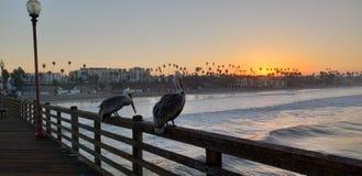 等待太阳的鹈鹕 库存照片
