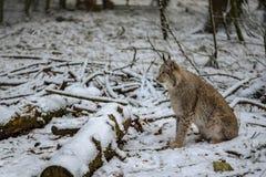 等待它的下个牺牲者的天猫座在冬天 免版税库存图片