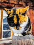 等待宠物的瑞士猫 库存图片