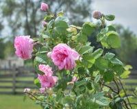 等待对绽放的桃红色玫瑰开花和玫瑰花蕾 免版税图库摄影