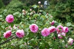 等待对绽放的桃红色玫瑰开花和玫瑰花蕾 免版税库存图片