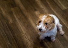 等待幼小起重器罗素狗的小狗坐和 免版税库存图片