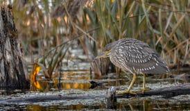 等待快餐,魁北克,加州的少年黑冠夜鹭属 免版税库存图片