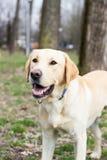 等待您的拉布拉多猎犬狗投掷球 免版税图库摄影