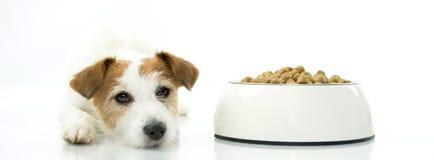 等待杰克罗素的狗吃它的食物 隔绝反对丝毫 免版税库存图片