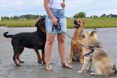 等待某事的三条狗 库存图片