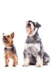 等待款待的两条机敏的狗 免版税库存照片