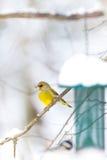 等待正确的片刻的Greenfinch在birdfeeder 免版税图库摄影