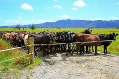 等待牧场地的变动母牛牧群  狐狸冰川新西兰 免版税库存图片