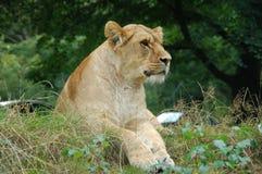 等待狮子的头看和 免版税库存照片
