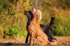 等待球的两条湿长卷毛狗 免版税库存照片