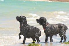 等待球 在海滩的英国猎犬 免版税库存图片