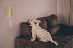 等待电话的西部Terrie狗 免版税库存照片