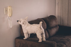 等待电话的西部Terrie狗 免版税图库摄影