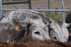 等待的母牛 免版税库存图片