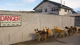 等待的爱斯基摩狗被装载在直升机上在阿拉斯加 免版税库存照片