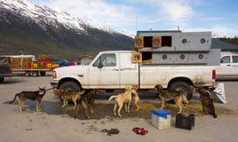 等待的爱斯基摩狗被装载在直升机上在阿拉斯加 库存图片
