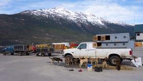 等待的爱斯基摩狗被装载在直升机上在阿拉斯加 库存照片
